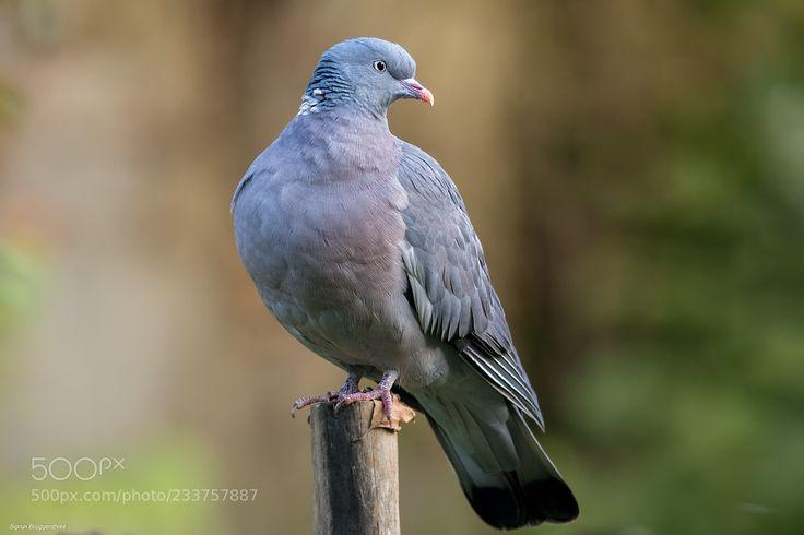 Only a Ringeltaube / Common Wood-Pigeon (Sigrun  Brüggenthies / Dortmund / Deutschland) #Canon EOS 7D Mark II #animals #photo #nature