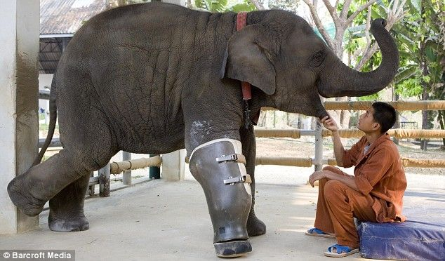 Mosha, an Asian elephant lost her right leg after stepping on a