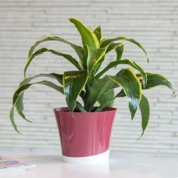 ingenious tropical foliage house plants. Find out how to grow dracaena  one of the easiest houseplants Dracaena is a common indoor plant you ll love in your home or office 486 best plants places images on Pinterest Balconies Balcony