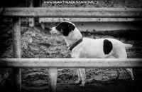 www.martinaburianova.cz Dogs - Jack Russel Terier