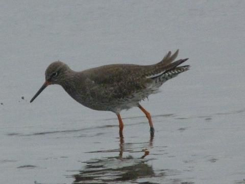 Red legs? Redshank ... | Peter Orchard