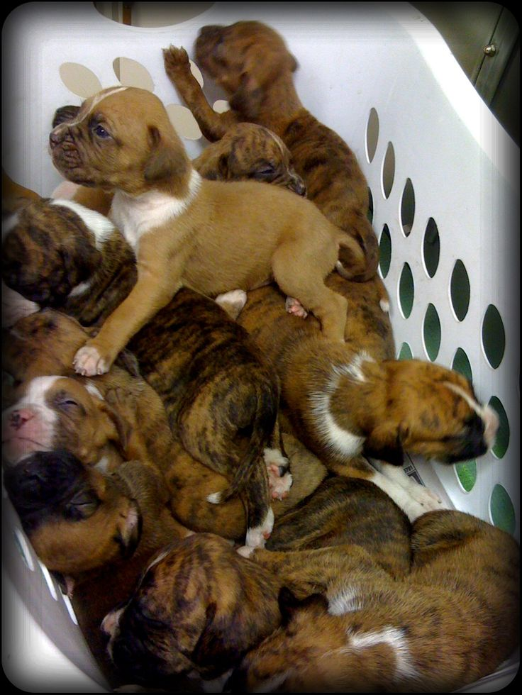 Basket Full Of White Boxer Pit-bull Mix Puppies. I want ...