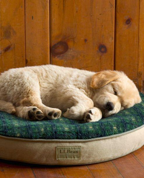 Golden Retriever dreaming of dinnertime