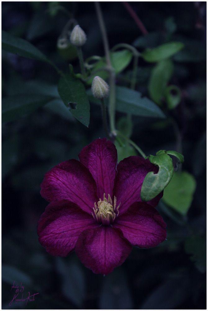 :: WaldRebe :: Clematis Autumn