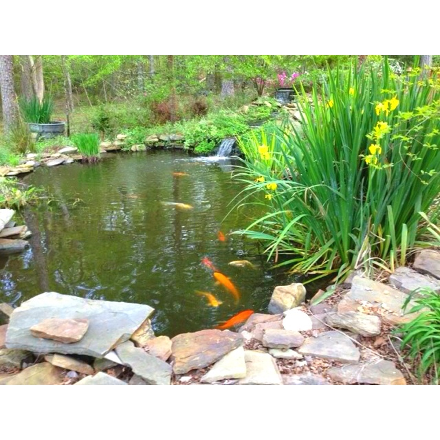 1000 Images About Koi And Goldfish Peaceful Companions