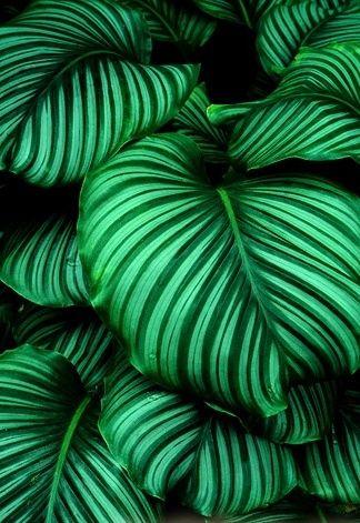 Calathea orbifolia: for shade tropical gardens or indoors.