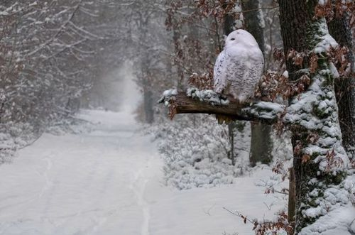 Beautiful owl: The Roads, Magic, Winter Photography, Wonderland, Beautiful, White Owls, Snowy Owls, Trees, Harry Potter