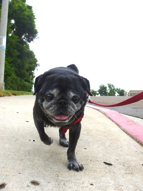 Got mine from pug rescue. Male, black and huge. Was filthy when I got him. Did not want black or male but he stole my heart. Had him 6 years. Had to put down when trachea collapsed. I am still not over him and miss him every day. His ashes are on my Buddhist altar . Miss you Dexter, I'm so sorry.