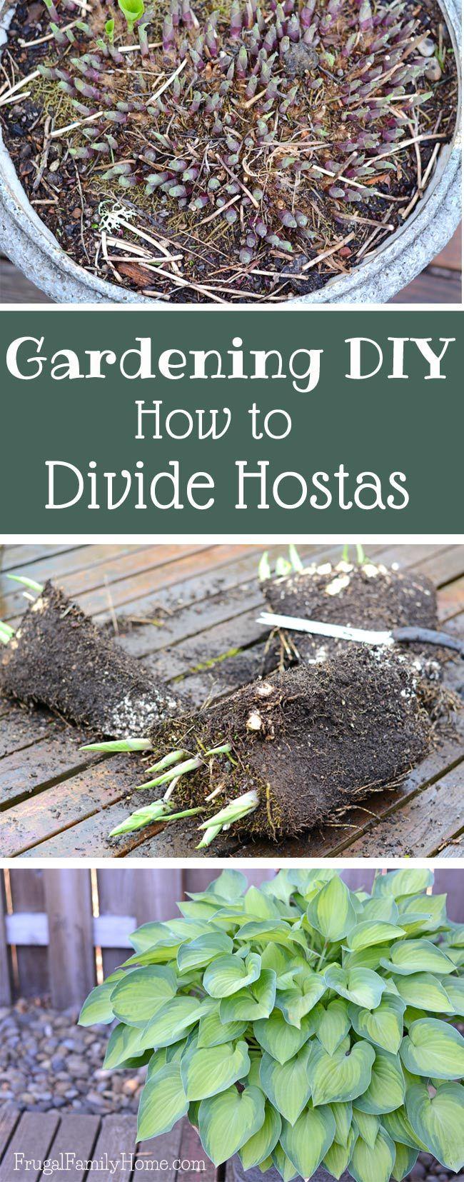 Gardening DIY, How to Divide Hostas