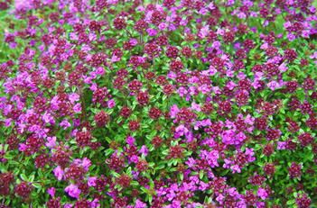 thymus red creeping thyme thymus