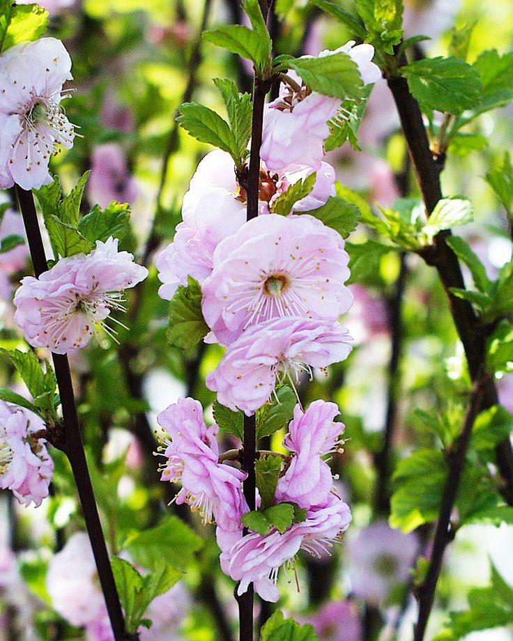 Rosemandel - Prunus triloba.