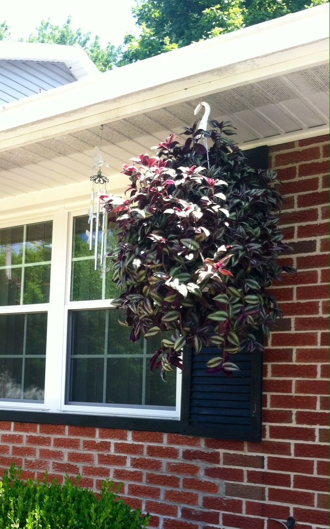 25 best ideas about wandering jew on pinterest outdoor pots and planters outdoor potted - Wandering jew care ...