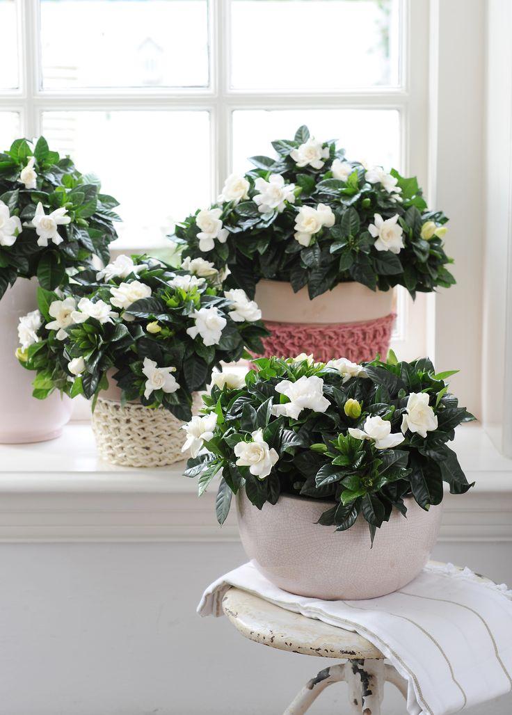 La gardenia si distingue per le foglie lucide verde scuro e i fiori bianchi o color crema, dall'inconfondibile profumo. Può essere coltivata in terra, in posizione riparata, o in vaso