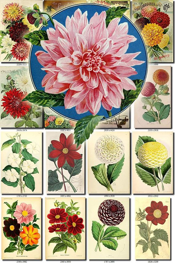 Dahlia 1 Collection Of 217 Vintage Images Flowers Georgina Tuberous Herbaceous Plant Botanical High Resolution Digital Download Printable Vintage Images Dahlia Vintage Flowers