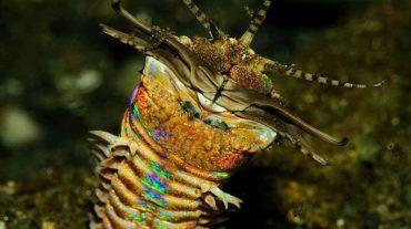 bobbit worm eunice aphroditois