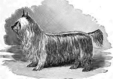 Ten notable extinct dog breeds: Paisley Terrier - Originally from Paisley, Scotland, this small dog resembles today's Yorkshire Terrier. A show dog and a devoted companion, this silky-coated dog insisted upon both togetherness and attention, and would bark or exhibit depression if left alone too long. #PaisleyTerrier #DogBreeds