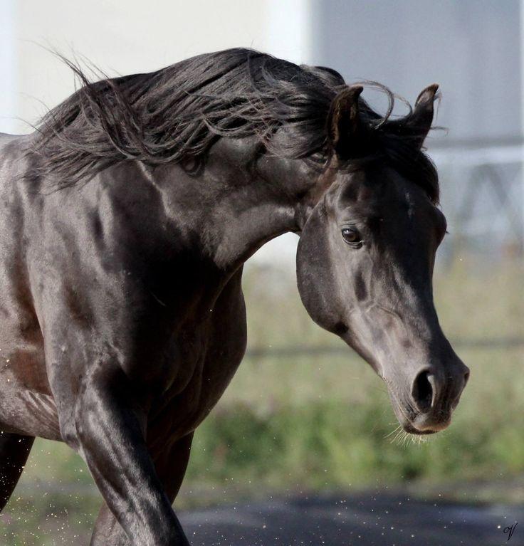 ✦ Sahara ✦ Étalon ✦ Pur-Sang Arabe 94a1b659c93a17067fdd1b1eb8e6fd73--black-arabian-horse-arabian-horses