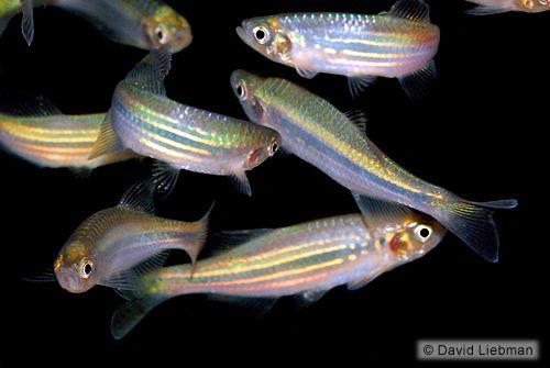 17 best images about aquarium fish on pinterest south for Giant danio fish