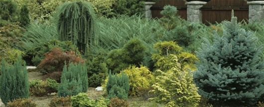 Nadelgeh lze fr hjahr pflanzen google suche conifers for Evergreen pflanzen