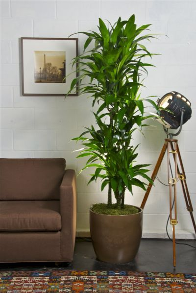 Dracena Lisa Cane - Very versatile plant. With its low light requirement and it's tall skinny shape, it can be placed in any corner away from a window. Average size: 18/22