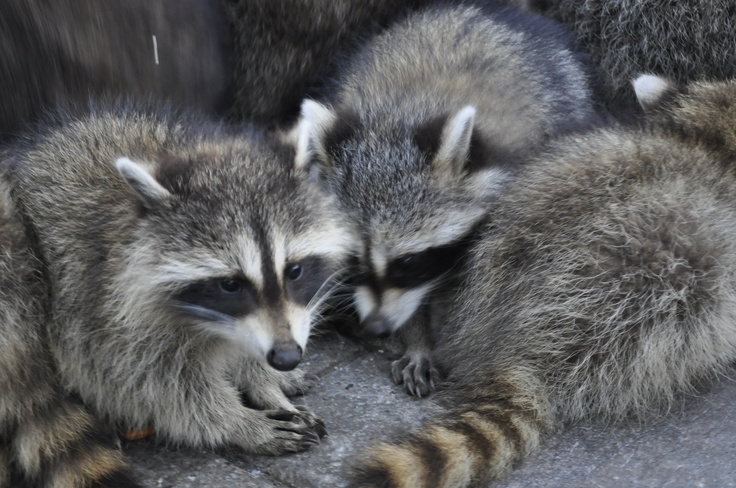 Go to the Mont-Royal to feed the raccoons