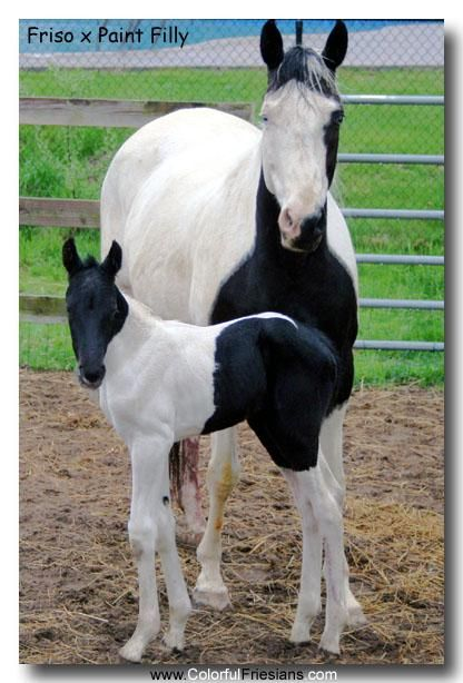 The mother must be part Splash White because of the crisp white face she has. However, she only passed on the Tobiano gene to her foal because he has no major facial markings.