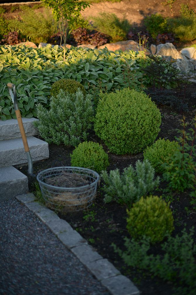 blått, silver och grönt. Jag har planterat ligusterklot,  havtorn och buxbomsklot som står för de runda formerna. Däremellan växer storbladig lammöron, trebladsspira och kantnepeta, samt rödbladig blodax