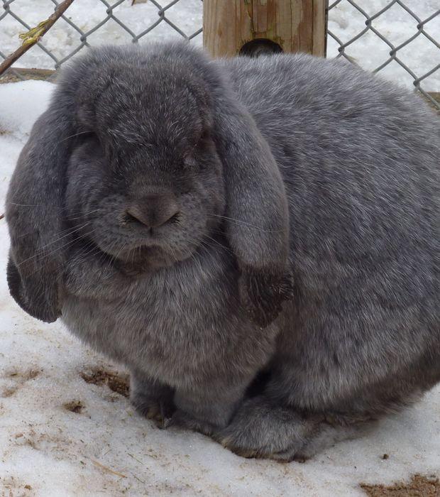 Le lapin bélier meissner