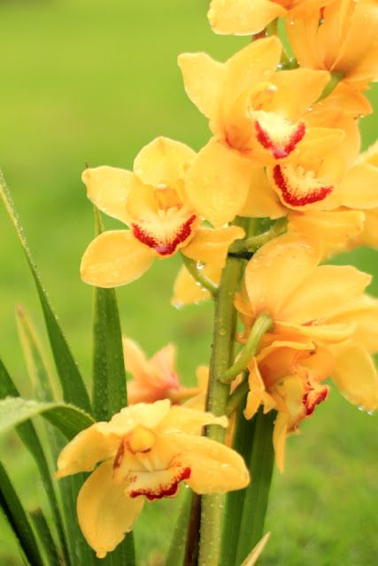 Yellow Gladiolus in the Rain - Flower Photography by Mademoiselle Mermaid
