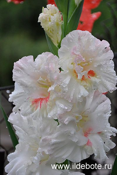 Gladiolus 'The First Ball'
