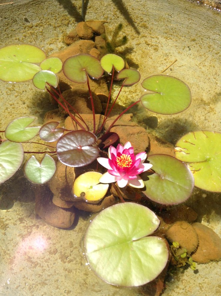 Water lily in my little pond