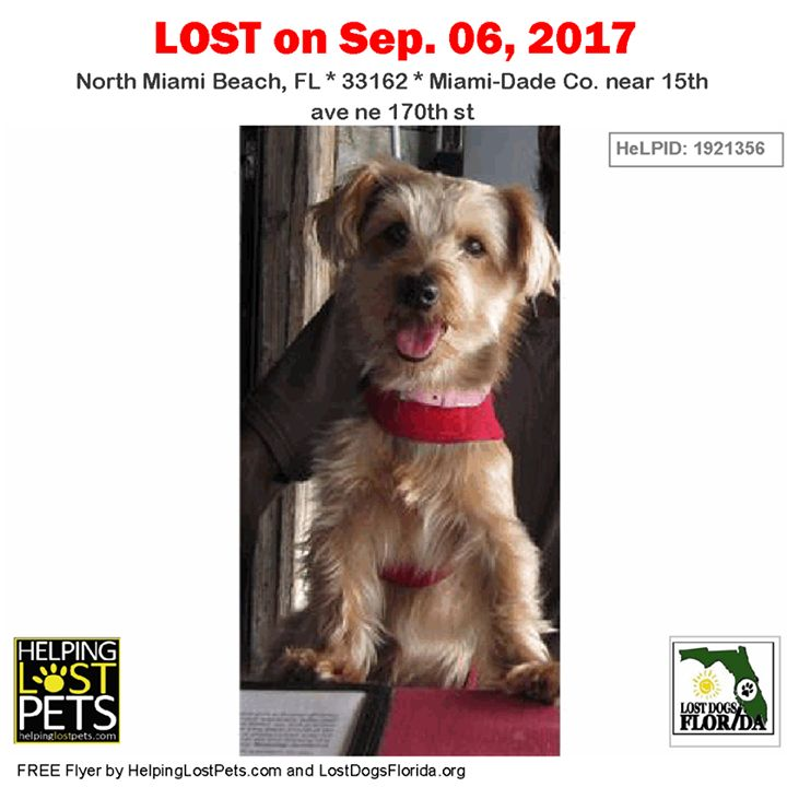 Please spread the word!  Dutch was last seen near 15th Ave and NE 170th St in #NorthMiamiBeach.  Female grey/black/tan #SilkyTerrier / #YorkshireTerrier #Yorkie Mix.  Contact: Touchofmegan@yahoo.com or (786) 202-2862.  Lost in NMB area by 15th Ave NE 170th St  9/6/17  She is a Silk Terrier / Yorkie Mix 9 years old. 10 lbs. Tan Grey blackish. Plz Call Mariah 786-202-2862.  More Info Photos and to Contact: http://ift.tt/2vRvD7N