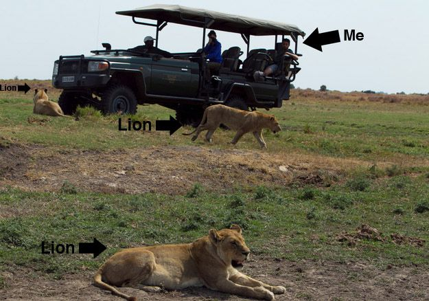 Like, I am straight up chilling next to a pride of lions. | Why Killing A Lion Is The Most Cowardly Thing You Can Do