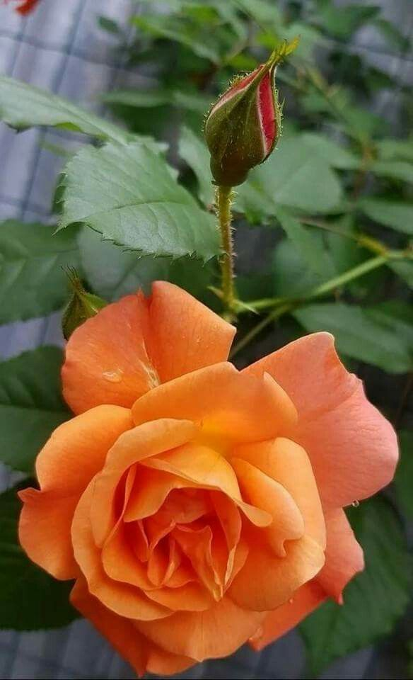 Very Pretty Orange Coral Colored Rose Livestock Poultry Fruits