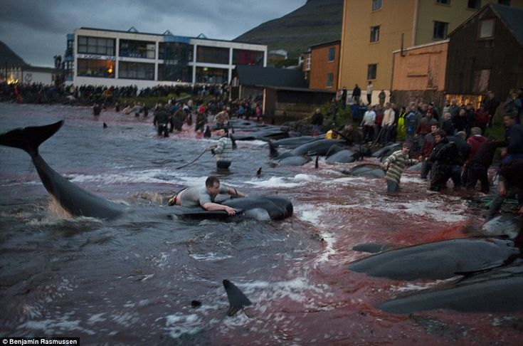 POLL: Should the Faroe Islands' whale slaughter be allowed to continue? » Focusing on Wildlife