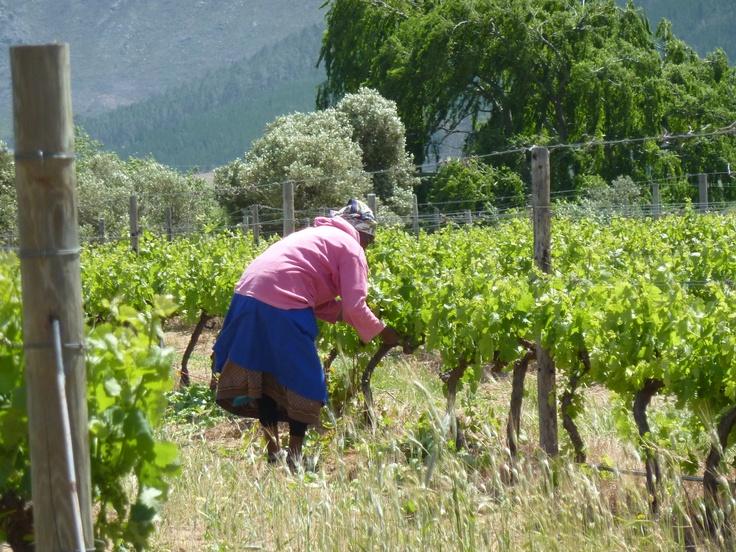 A Wine Farm, La Grande Provence in Franshoek