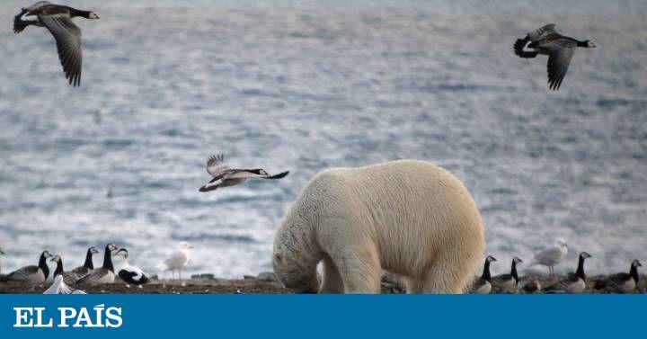 El deshielo complica la caza de mamíferos marinos, que están siendo sustituidos por ataques a nidos