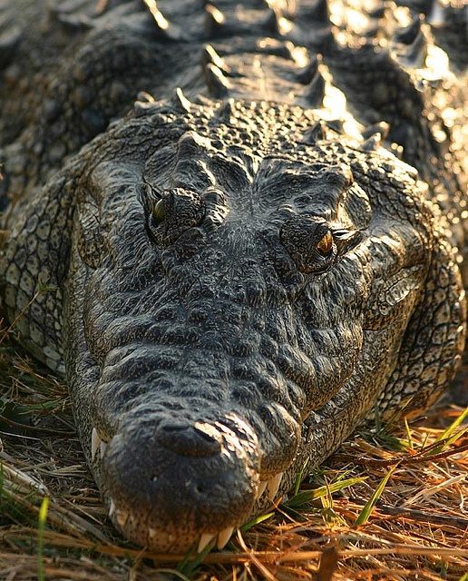Big Hungry Crocodile by Nomad Africa Adventure Tours, via Flickr