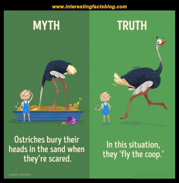 Myths About Ostriches