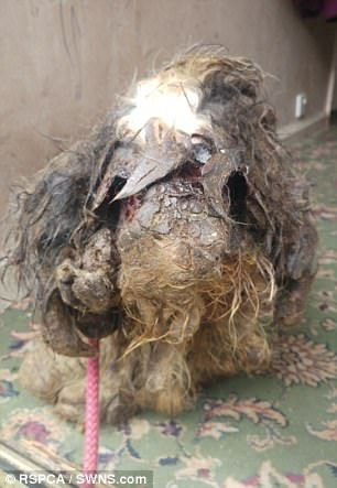This poor little dog was found in Leeds, England. Taken in by Dogs Trust Leeds.  He had to be anaesthetised so veterinary staff could shave the coat. Now taken in by a fosterer.