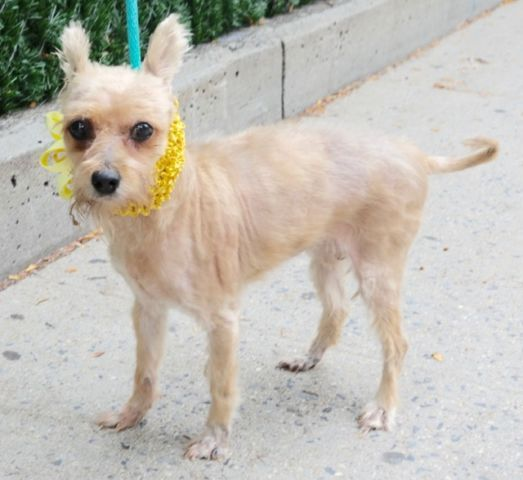 BUBBLES - A1092636 - - Manhattan  Please Share:TO BE DESTROYED 10/10/16 **ON PUBLIC LIST** A volunteer writes: Bubbles is an elderly gal …13 years of age who was brought to us together with friends Micki and Cielo as their owner passed away. Just like her housemates, she was heavily matted and a bit on the thin side. Bubbles has since then been groomed and awaiting to grow a pretty coat of her own. Bubbles is quite a nice little dog who was very well behaved during ou
