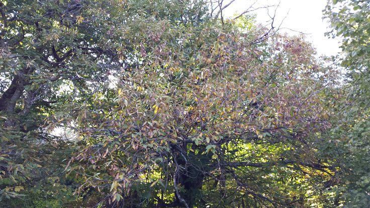 Καστανόδασος στη Μικρόπολη Δράμας - Chestnut forest at Mikropoli Dramas Macedonia - Hellas