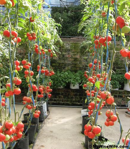 Tomato Garden Ideas 15 fun ideas for growing tomatoes Find This Pin And More On Juicy Tomato Garden