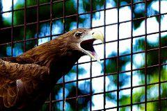 White-Tailed Eagle of Ueno Zoo : オジロワシ上野動物園
