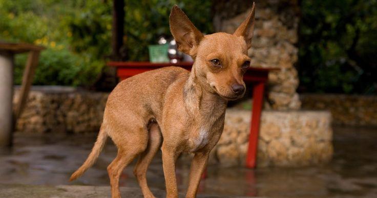 """Cómo reconocer a un perro Chihuahua Cabeza de Venado. Este perro, originario de México (aunque algunos consideran que proviene de China y cruzó por el Estrecho de Bering), se ha robado el corazón de millones de personas a nivel mundial. Su nombre significa """"lugar árido y arenoso"""", en lengua rarámuri. Es ágil, vivaz, pequeñito y la mascota ideal para personas adultas. Existen dos tipos principales, el ..."""