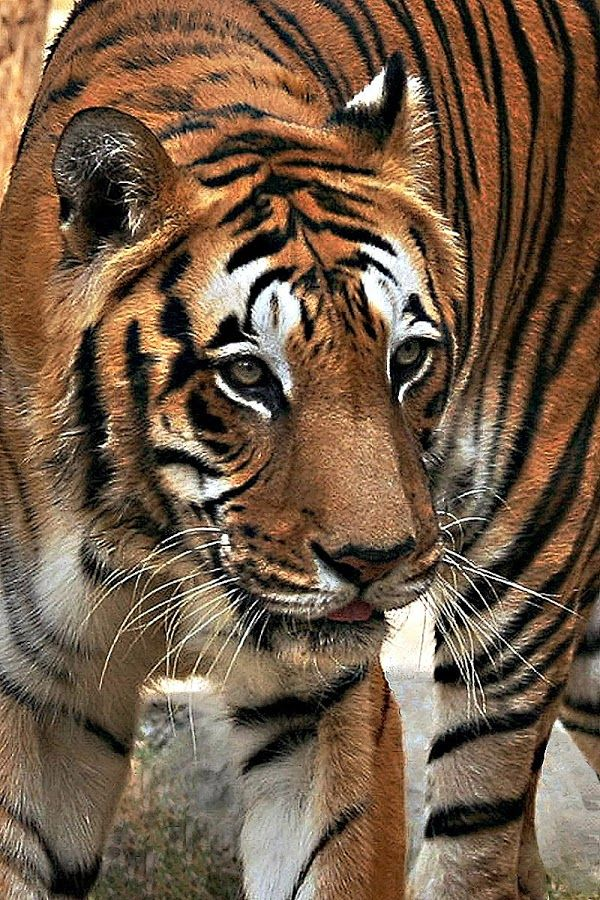 Bengal Tiger animal art portraits, photographs, information and just plain fun. Also see how artist Kline draws his animal art from only words at drawDOGS.com