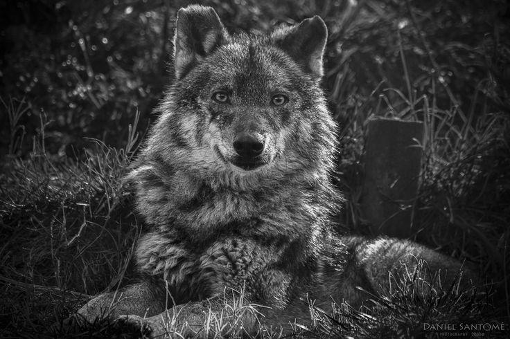 """""""Amarok"""", fotografía de un lobo ibérico en el Vigozoo."""