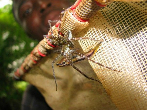 Fish-eating spiders more common than previously thought / ScienceNow