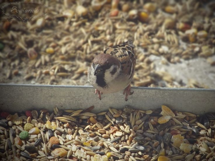 wróbel / sparrow