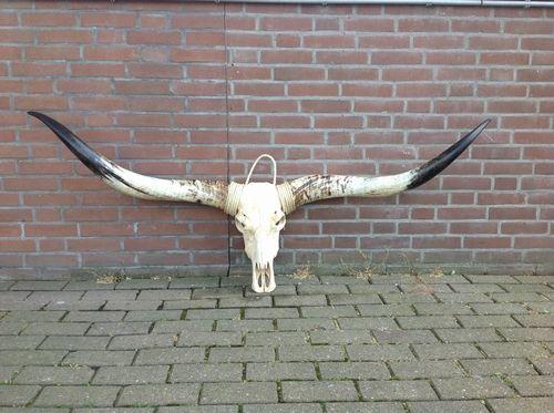 Longhorn schedel 1